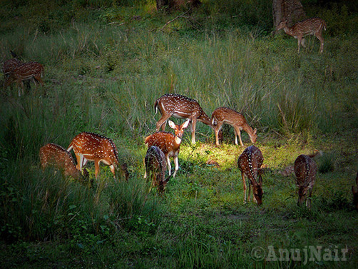 Chital / Spotted Deer