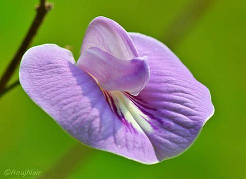 Wild Pea flower