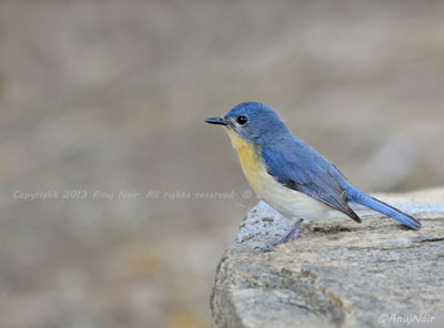 Tickell's Blue Flycatcher (Female)