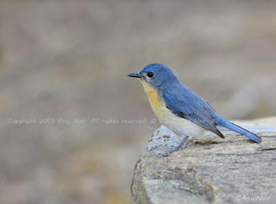 Tickell's Blue Flycatcher (Female)