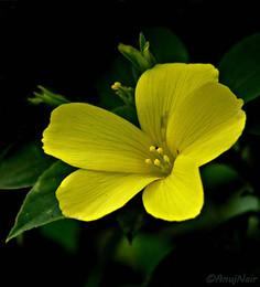 Yellow Flax