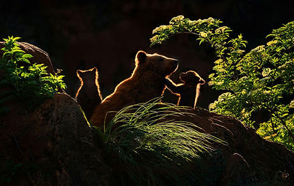 nat geo bear and cubs - Copy.jpg