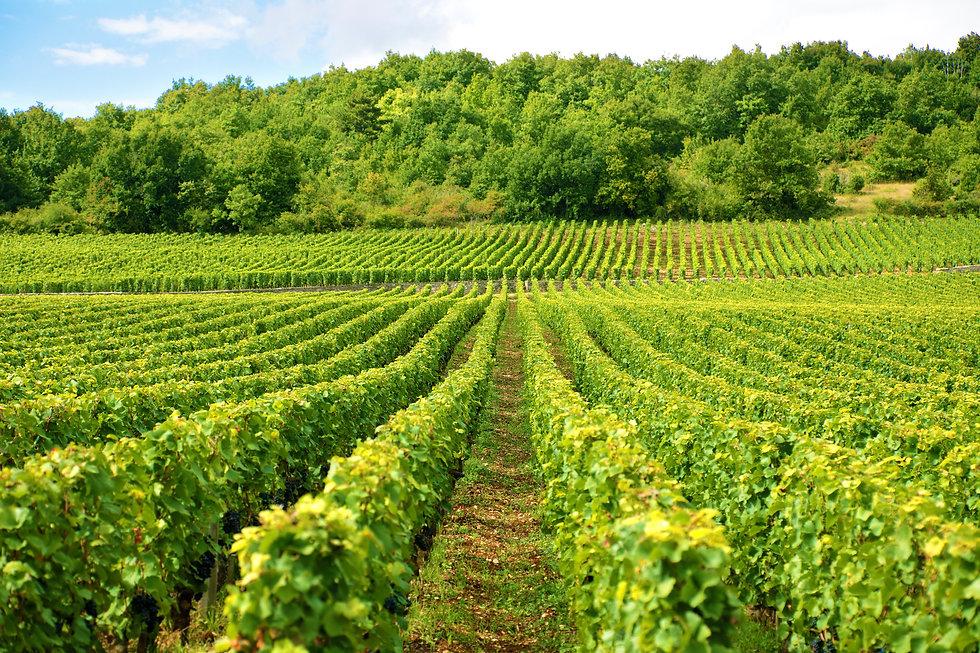 vineyard-in-france.jpg