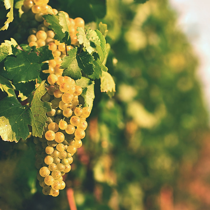 vineyards-at-sunset-in-autumn-harvest-ri