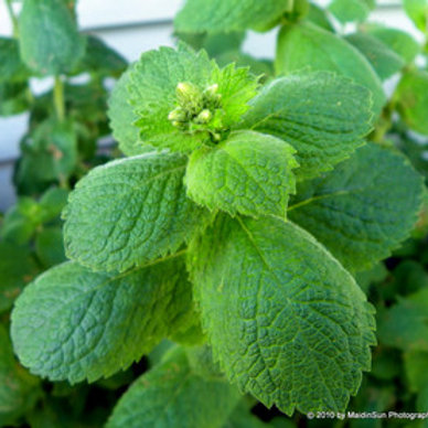Apple Mint- Rootstock