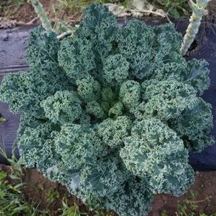 Scottish Curly Blue Kale