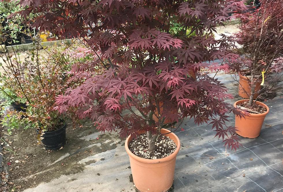Acer palmatum - Pépinières Bedel