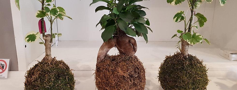 Plante Kokedama - Les Socquettes de l'Archiduchesse