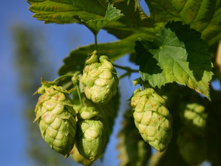 Hops: Acids and Acres