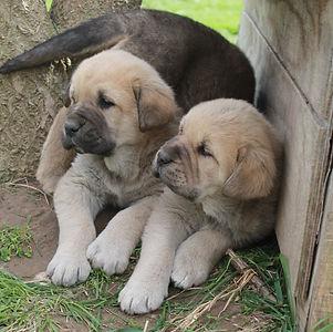 Medlarmeadows Spanish Mastiffs