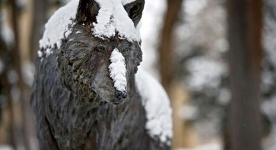 Lobo with snow.jpg