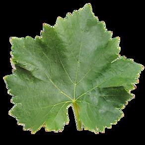 Grenache leaf