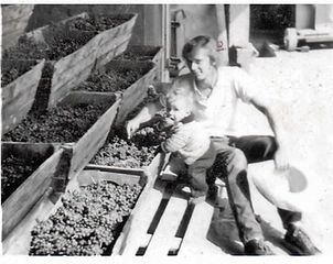 Alec and Jim Bungener, tasting grapes: first harvest 1976