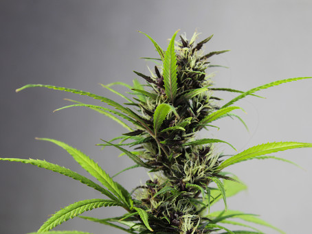 Interesting Facts You Never Knew About MEDICINAL USE OF MARIJUANA