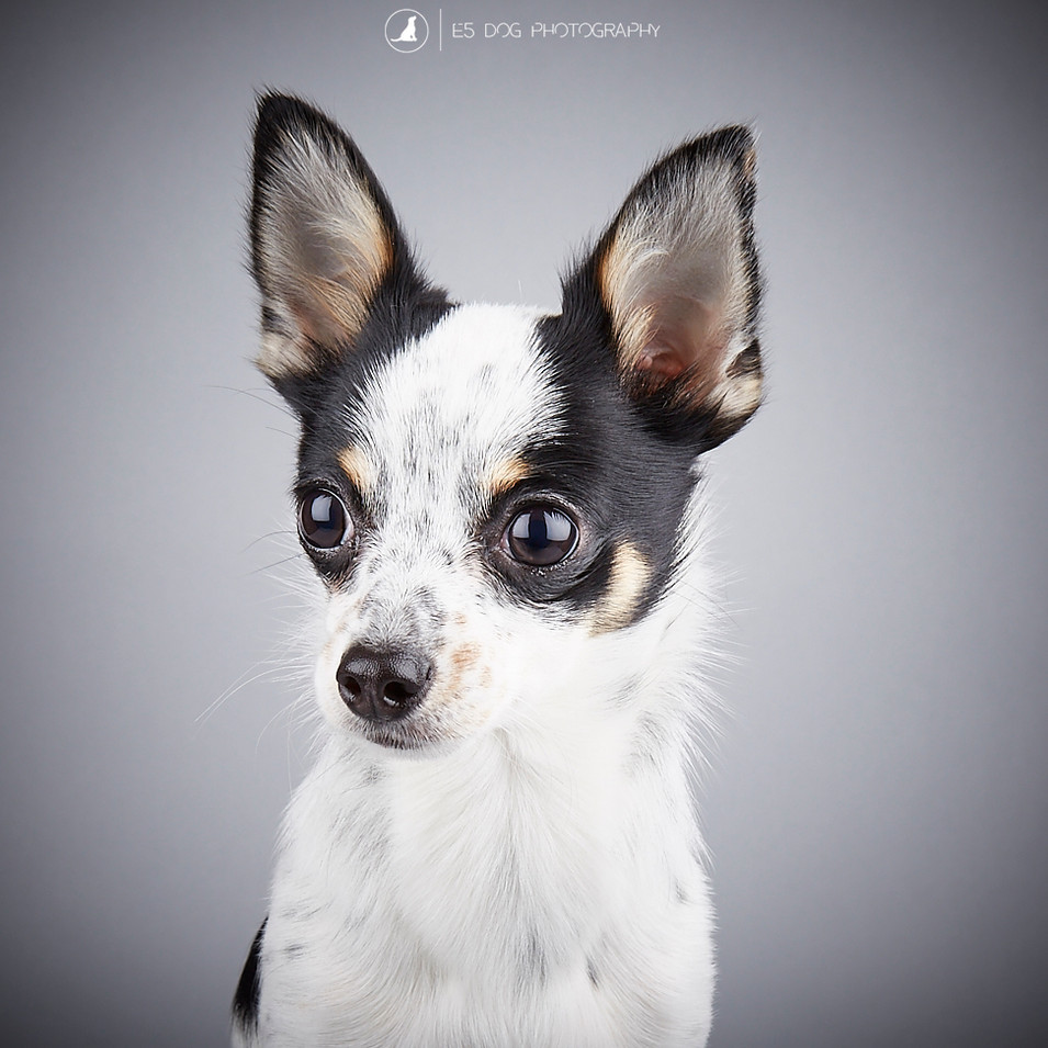 Dog Portrait of Rocky a Chihuahua by E5 Dog Photography