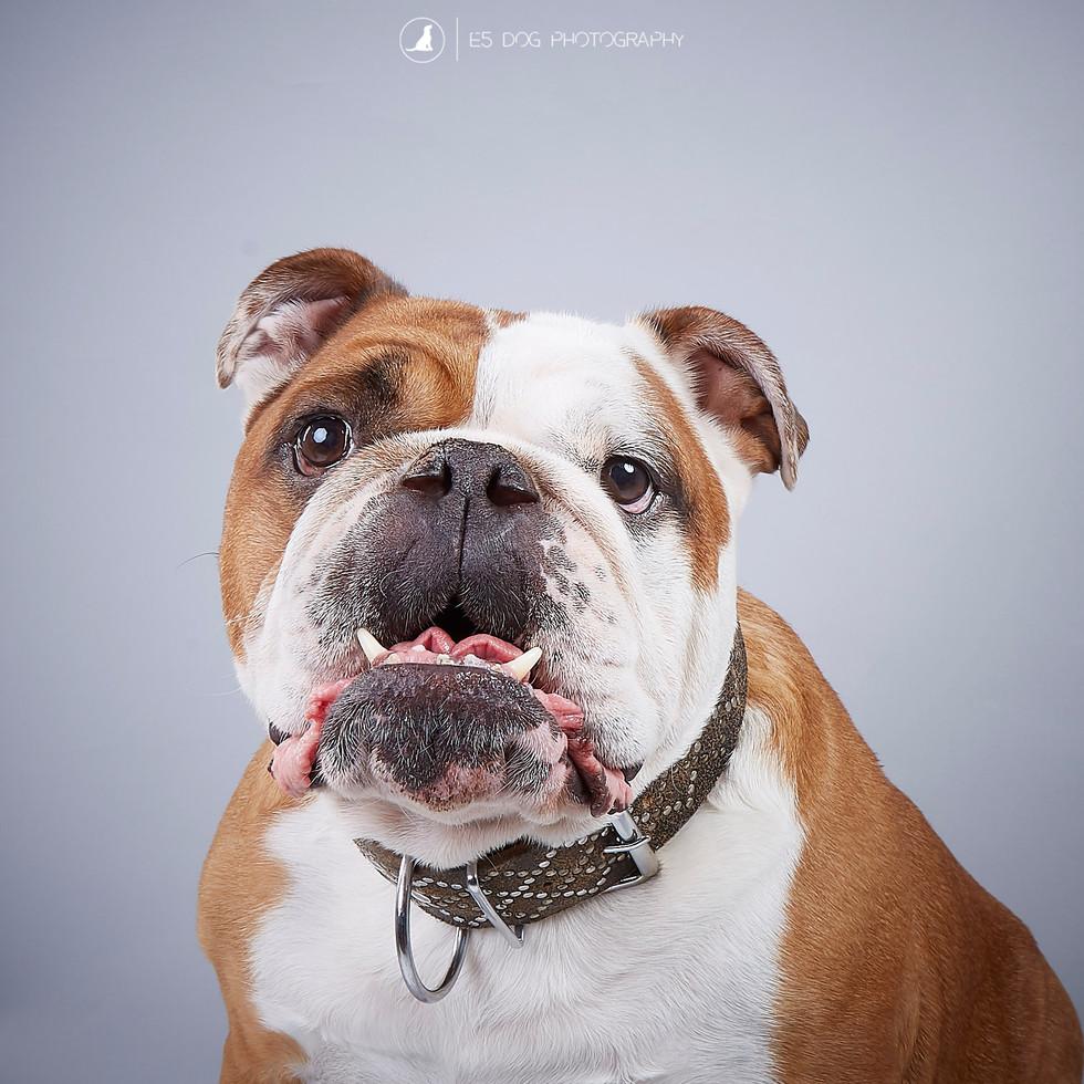 Brutus the Bulldog