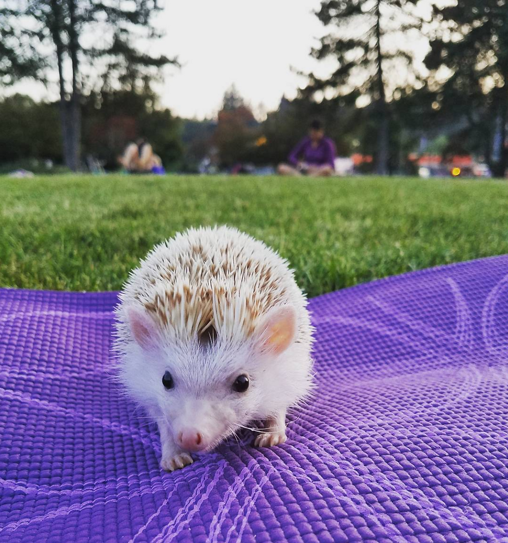 PokPok the hedgehog practicing at Main Street. Photo by @jc_yvr.