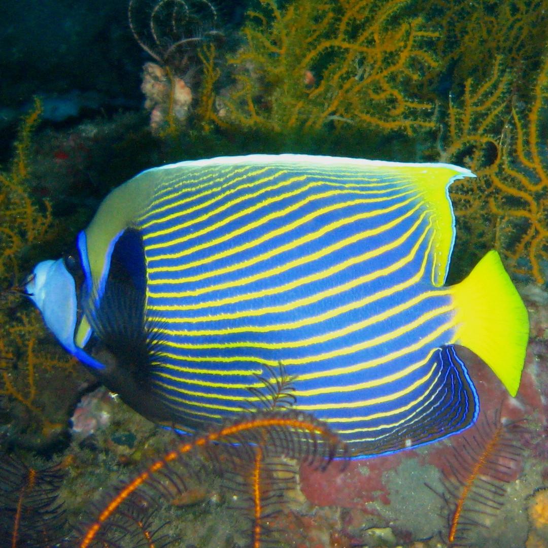 angel fish Bali