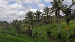 Bali ricefield, Rizières de Bali