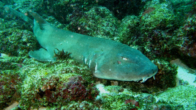 Nurse shark - Requin nourrice Bali