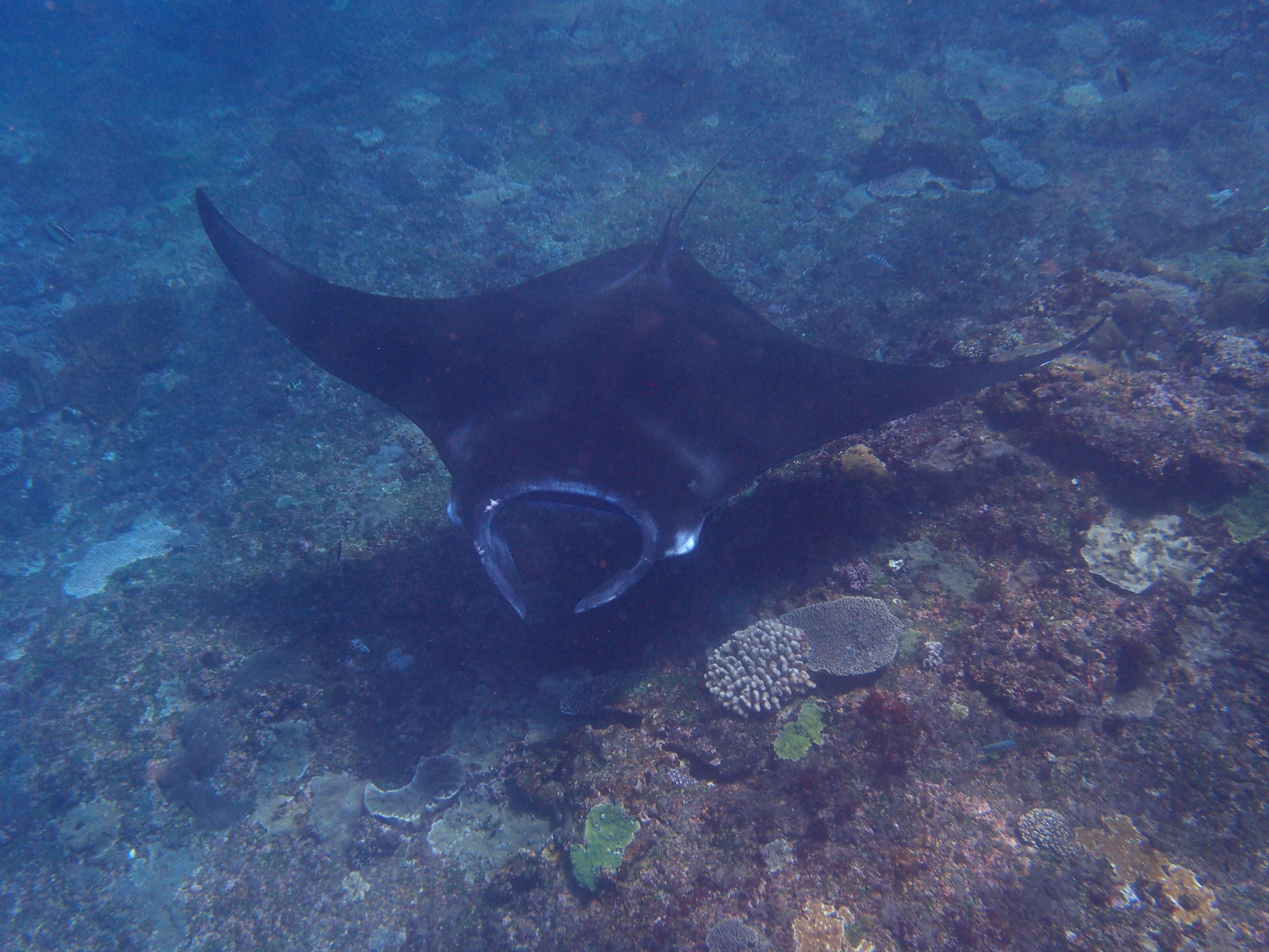 Raie Manta - Nusa Penida - Plongée à