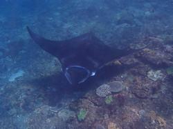 Manta Ray, Raie Manta - Nusa Penida - Plongée à