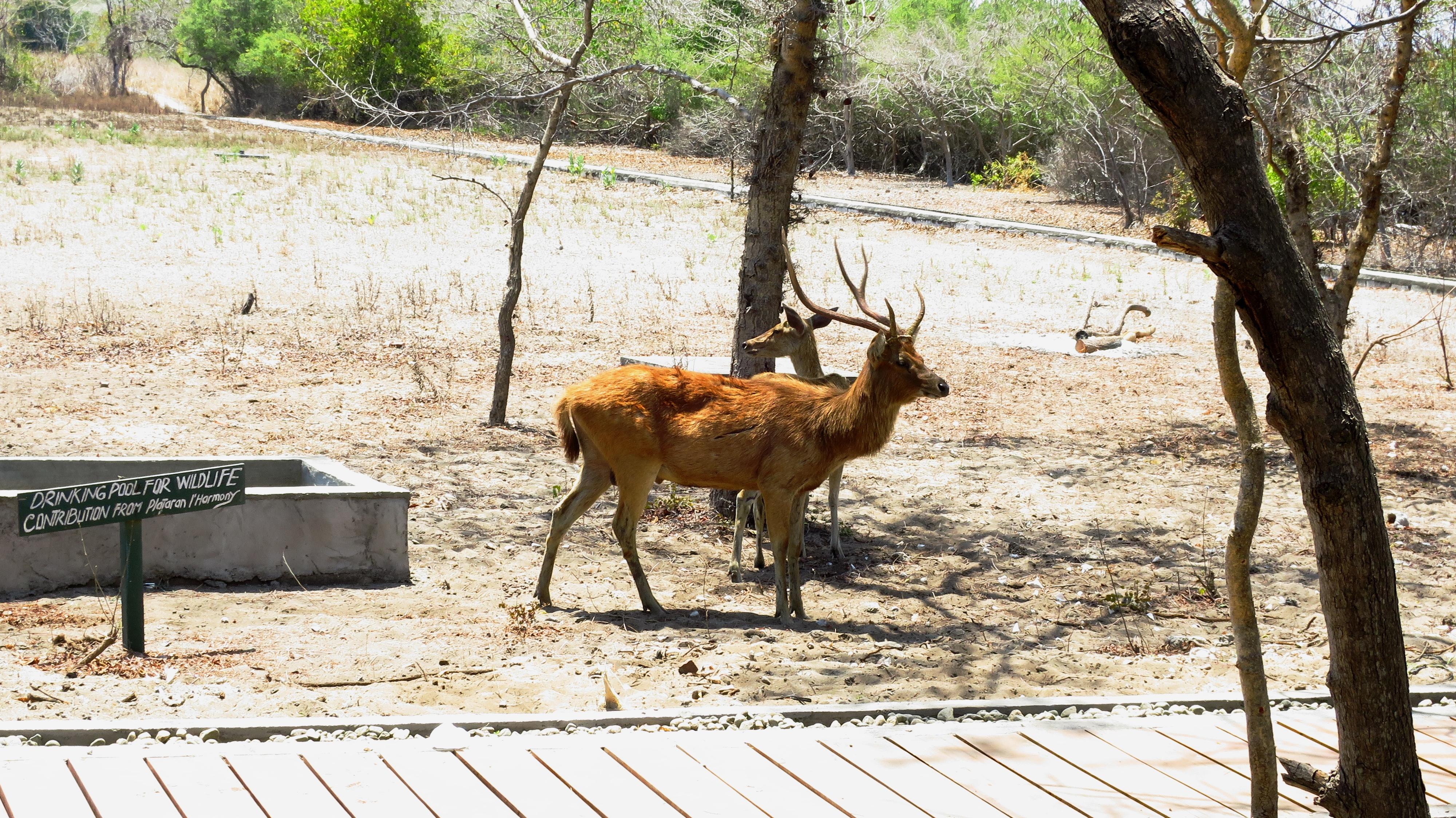 Deer and doe / Cerf et biche à Menjangan