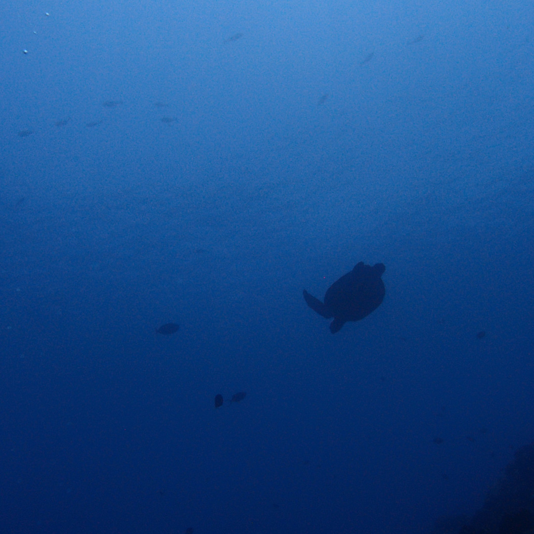 Turtle in the dark blue Ombre d'une tortue