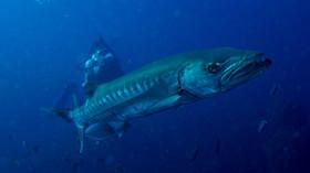 Barracuda Bali