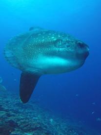 Sun Fish, Poisson-lune