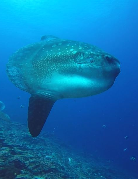 Sun Fish, Poisson-lune