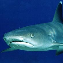 shark diving gili islands bali