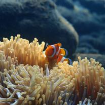 Clown fish - Poisson clown Tulamben