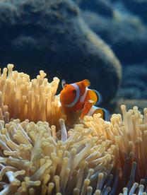 Clown fish Bali, poisson clown