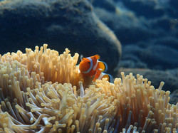Clown fish , Poisson clown - Plongée à Bali