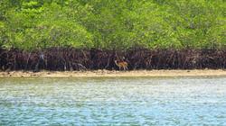 Doe in Menjangan, Biche dans la réserve de Menjangan