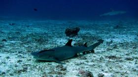 Reef shark, Requin de récif, Bali