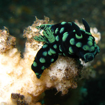 Nudibranch macro Bali