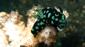 Nudibranch Amed, Nudibranche