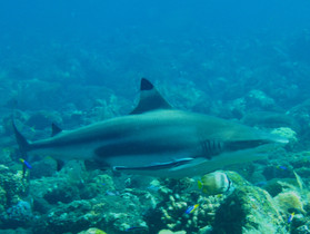 Black tip shark Bali, requin Bali