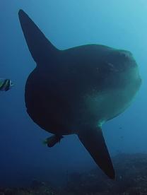 Mola  Mola à Nusa Penida