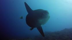 Mola mola - Plongée à Bali