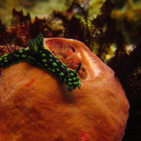 Nudibranch, marco dive Bali