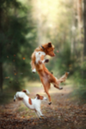Dog Jack Russell Terrier And Dog Nova Scotia Duck Tolling Retriever Jump Over The Leaves.jpg