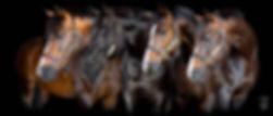 Stallionsheadsleftcropped.jpg.w560h240.j