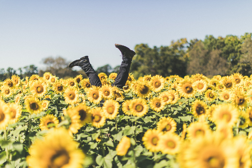 field of sunflowers with legs sticking up