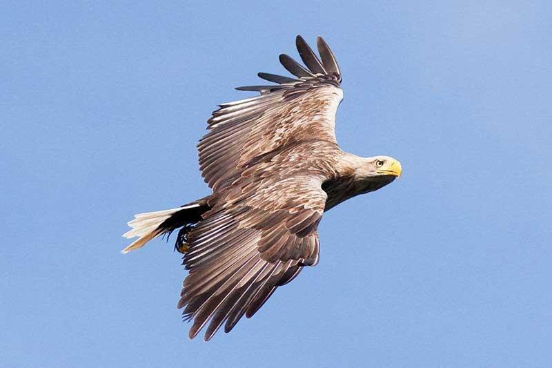 White Tailed Sea Eagle.jpg