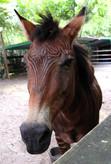 4_Zorse (Half Zebra Half Horse).JPG