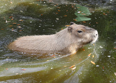 8_Capybara.JPG