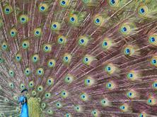 1_Peacock.jpg